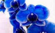 Lavanderia Orchidea Blu
